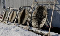 Seal skins